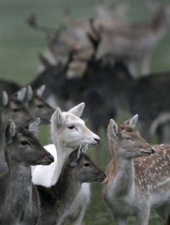 White Deer, Britain [REUTERS 2006-12-23]; Image ONLY