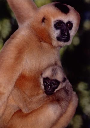 Singing For Survival: Gibbons Scare Off Predators With 'Song' [ScienceDaily 2006-12-26]; Image ONLY