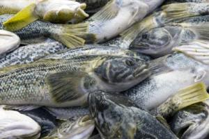 New Hope For Commercial Fisheries? Good Catch Doesn't Necessarily Mean That Depleted Stocks Have Recovered [ScienceDaily 2006-12-27]; Image ONLY