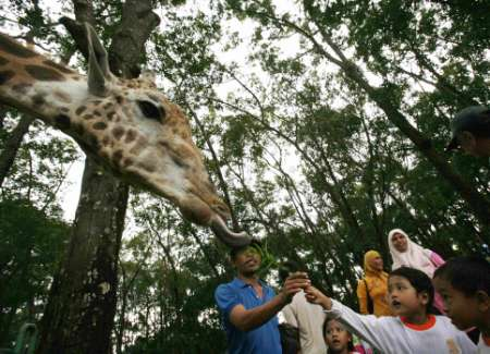 Giraffe Tongue, Indonesia [REUTERS 2006-12-27]; Image ONLY