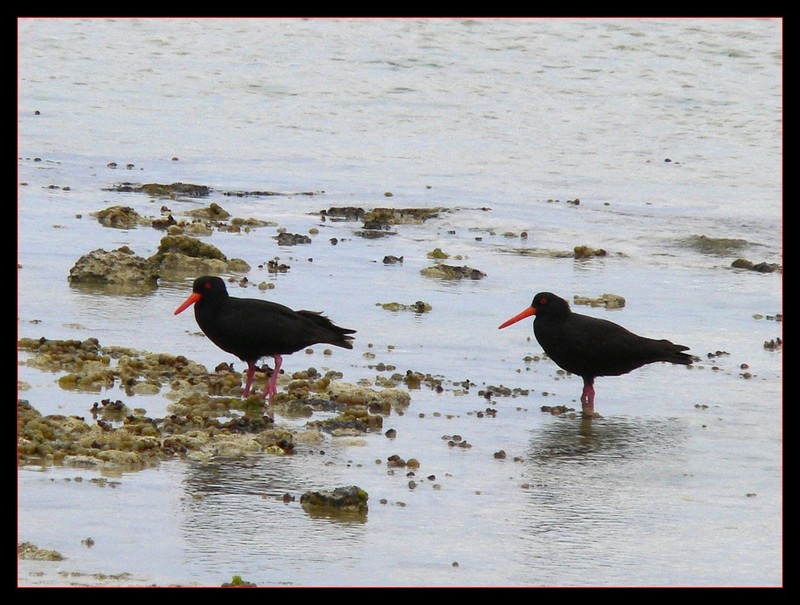sooty oystercatchers; DISPLAY FULL IMAGE.