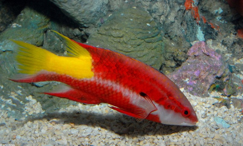 Spotfin Hogfish (Bodianus pulchellus)2; DISPLAY FULL IMAGE.