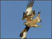Red kites threatened in Scotland [BBC 2006-12-29]; Image ONLY