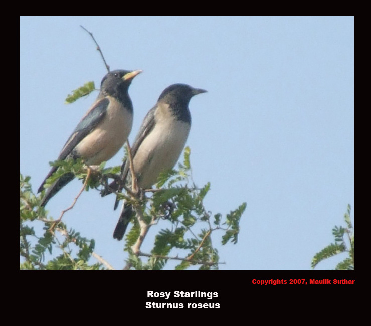 Rosy Starling, Copyrights  2007 , Maulik Suthar; Image ONLY