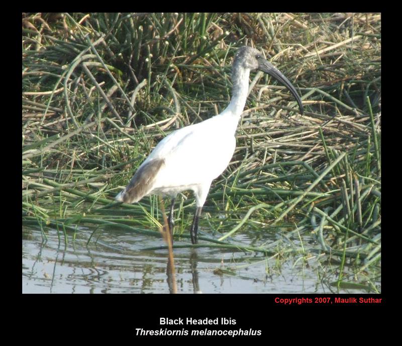 Black-headed ibis, Copyrights  2007 , Maulik Suthar; Image ONLY