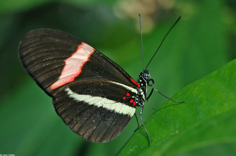 Crimson-patched Longwing (heliconius erato); DISPLAY FULL IMAGE.