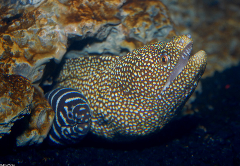 Whitemouth Moray Eel (Gymnothorax meleagris) with Zebra Moray (Gymnomuraena zebra); DISPLAY FULL IMAGE.
