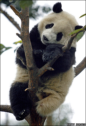 Giant Panda, China [BBC 2007-01-05]; Image ONLY