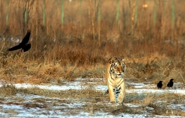 Siberian Tiger, China [AP 2007-01-07]; Image ONLY