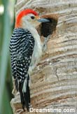 Why Woodpeckers Don't Get Headaches [LiveScience 2007-01-08]; Image ONLY