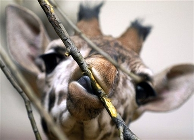 Young Rothschild's Giraffe, Czech [AP 2007-01-10]; Image ONLY