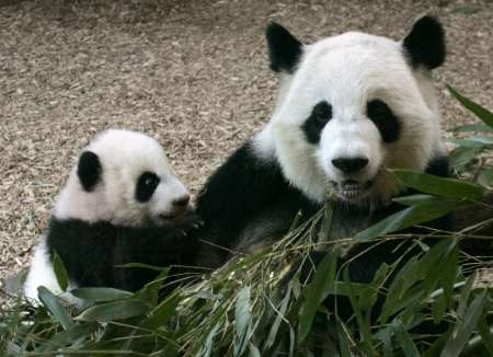 Baby Giant Panda, USA [REUTERS 2007-01-12]; Image ONLY