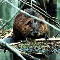 Beavers 'helping frogs survive' [BBC 2007-01-15]; Image ONLY