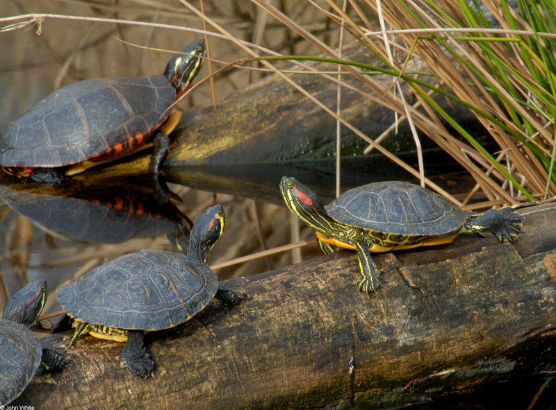 Turtles - eastern painted turtle and sliders; DISPLAY FULL IMAGE.