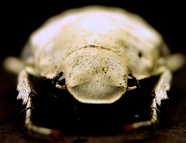 Nature's Whitest White Found in Ghostly Beetle [LiveScience 2007-01-18]; Image ONLY