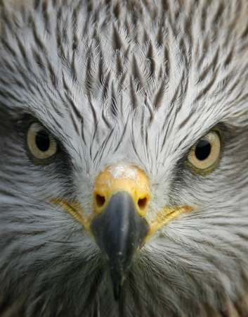 Black Kite, Spain [REUTERS 2007-01-20]; Image ONLY