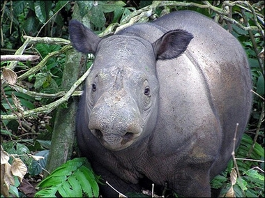Sumatran rhinoceros, Indonesia [AP 2007-01-17]; Image ONLY