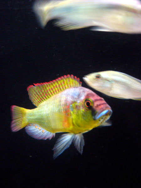 Fish Capable of Human-like Logic [LiveScience 2007-01-24]; Image ONLY