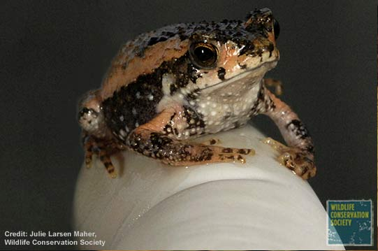 Reintroducing the Puerto Rican Crested Toad [LiveScience 2007-01-22]; Image ONLY