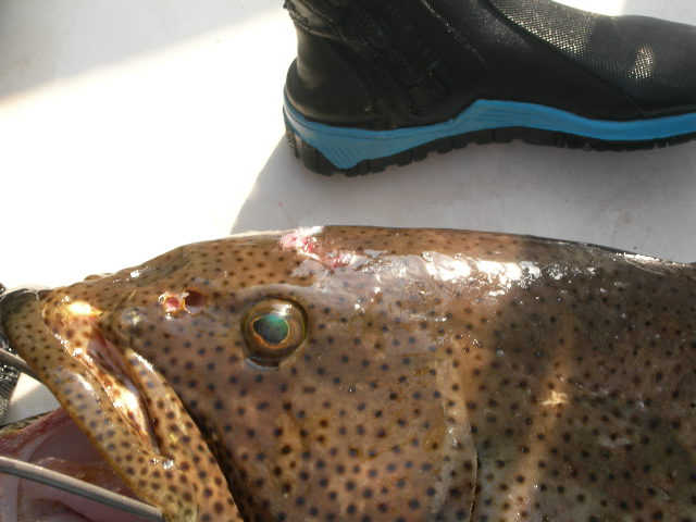 Grouper Hunter :sir qaswara Date 25-1-2007 Jeddah Saudi; Image ONLY