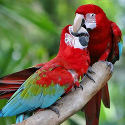 Amazing Animals 1 - Parrot Talk More than Just Squawking [LiveScience 2007-01-28]; Image ONLY