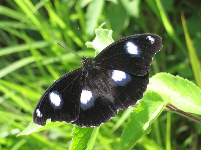 Bacteria Make Female Butterflies Promiscuous, Scientists Say [LiveScience 2007-02-06]; Image ONLY