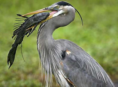 Great Blue Heron and Suckermouth Catfish [AP 2007-02-13]; Image ONLY