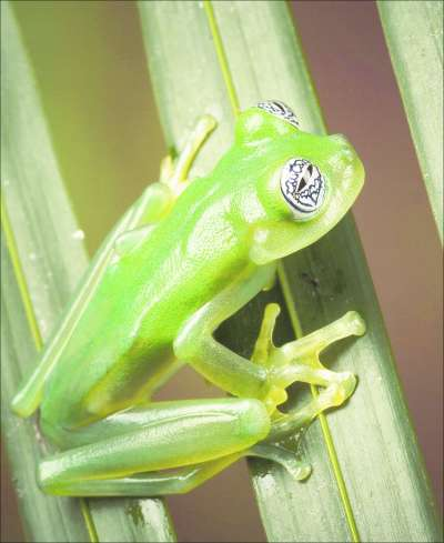 Saving Frogs - Glass frog [AP 2007-02-15]; Image ONLY