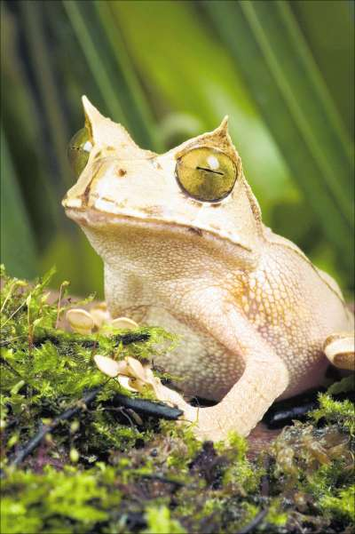 Saving Frogs - Marsupial frog [AP 2007-02-15]; Image ONLY