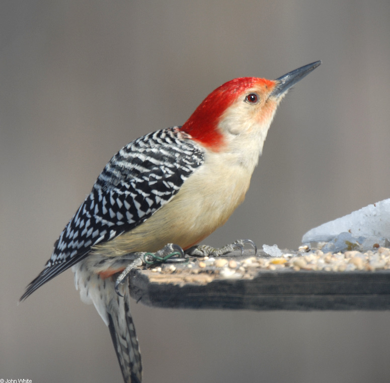 Red-bellied Woodpecker (Melanerpes carolinus)-Male-101; Image ONLY