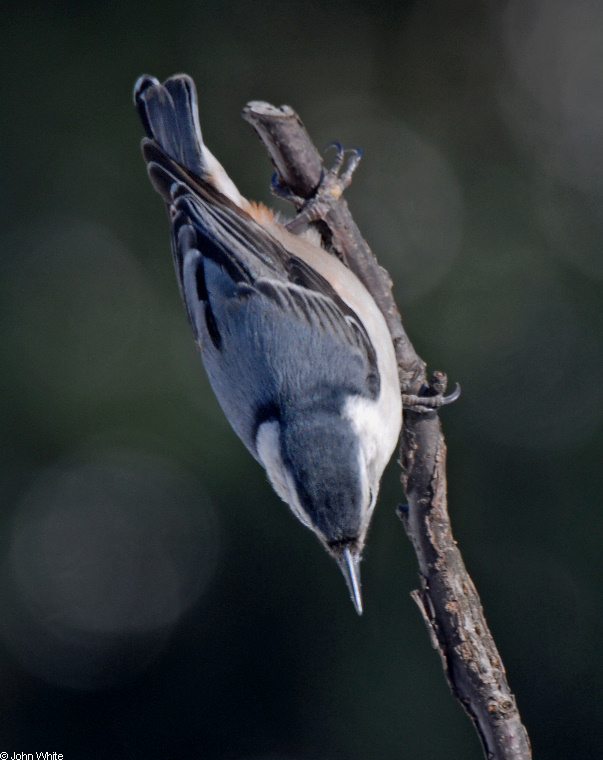 White-breasted Nuthatch (Sitta carolinensis); Image ONLY
