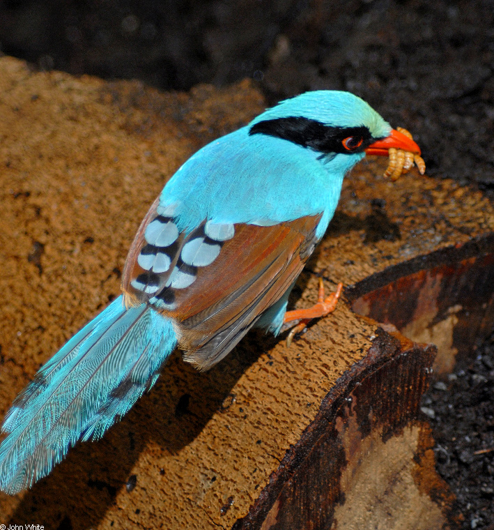 Blue Morph - Green Magpie (Cissa chinensis)001; Image ONLY
