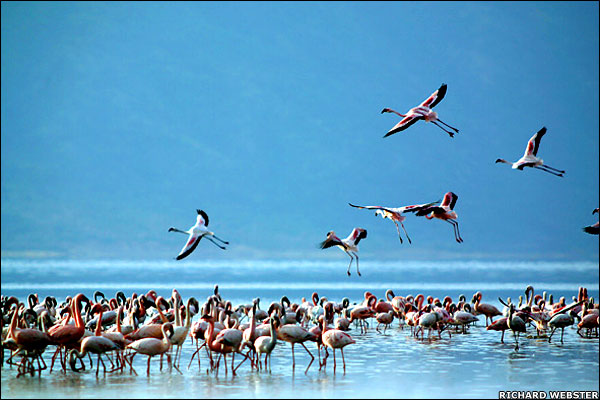 The world's water birds - Lesser Flamingo [BBC 2007-03-20]; Image ONLY