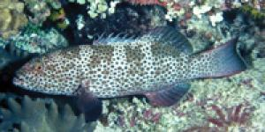 Twenty Of World's 162 Grouper Species Threatened With Extinction [ScienceDaily 2007-03-22]; Image ONLY