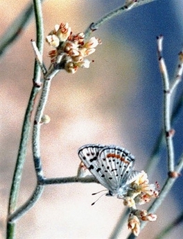 Rare Butterfly - Sand Mountain blue butterfly [AP 2007-03-22]; Image ONLY