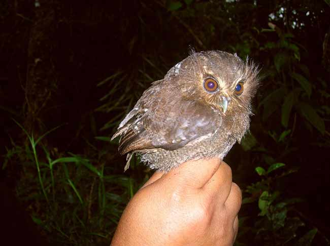 Rare Tiny Owl Spotted in Peru Reserve [LiveScience 2007-03-23]; Image ONLY