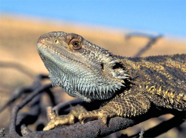 Warming Climate Reverses Sex of Lizards [LiveScience 2007-04-19]; Image ONLY