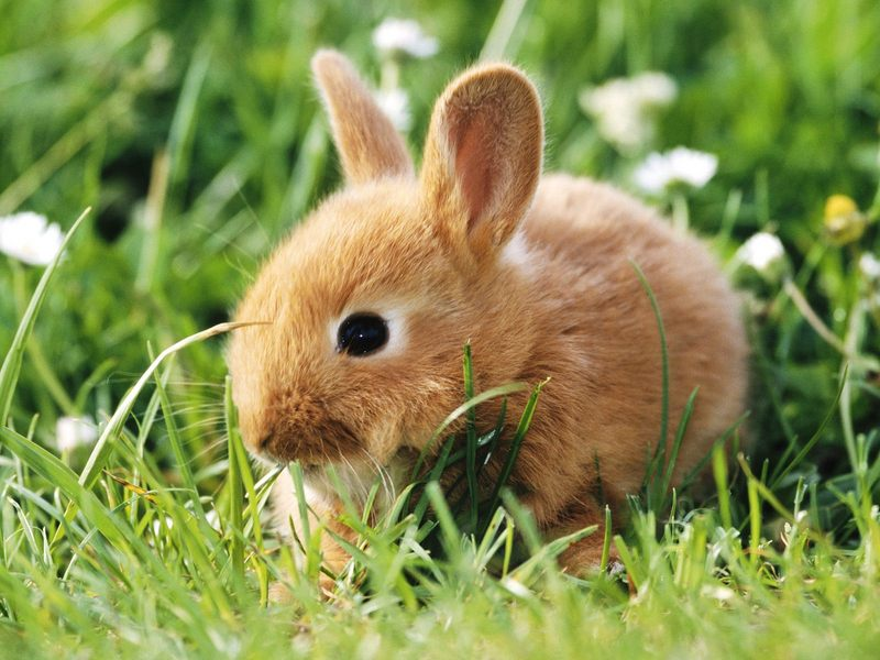 Dwarf Rabbit; DISPLAY FULL IMAGE.