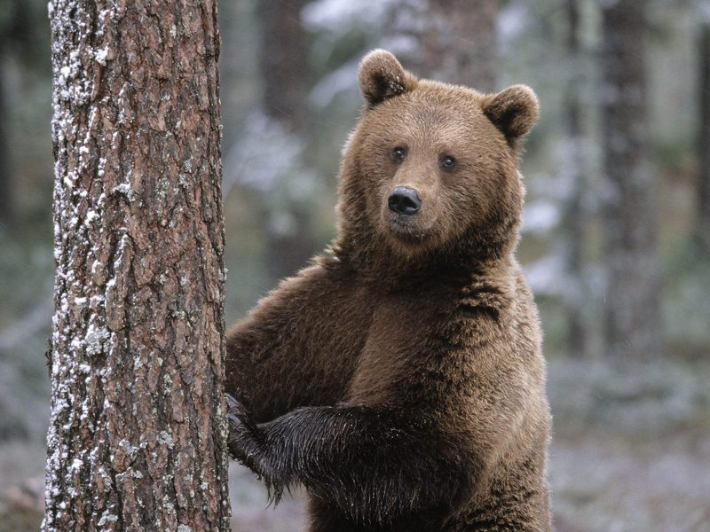 Portrait of a Brown Bear, Finland; DISPLAY FULL IMAGE.