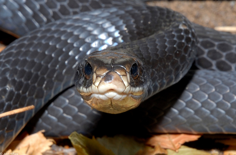 Northern Black Racer (Coluber constrictor constrictor)0003; DISPLAY FULL IMAGE.
