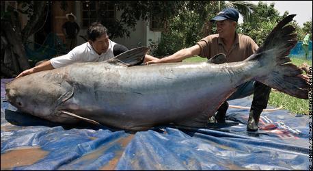 Giant Mekong catfish (Pangasius gigas).jpg