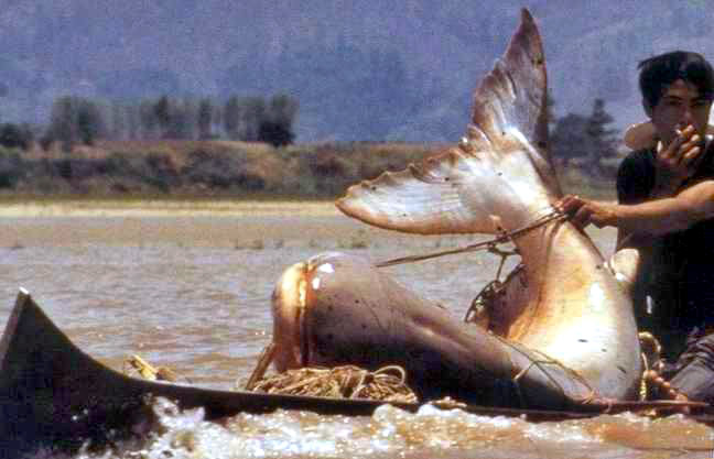 Giant Catfish; Image ONLY