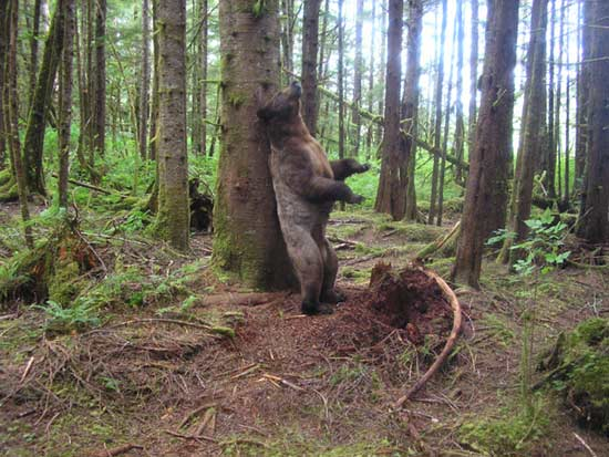 Why Grizzly Bears Rub Trees [LiveScience 2007-09-05]; Image ONLY