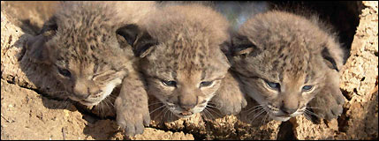How the EU saves, and kills, the lynx [BBC 2007-09-10]; Image ONLY
