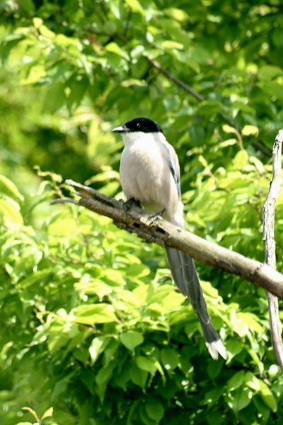 Azure-winged Magpie (Cyanopica cyana) {!--물까치-->; Image ONLY