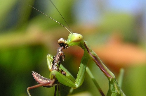 Kissing Mantis?; Image ONLY