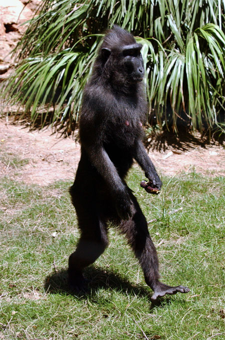 Walking Black Macaque; Image ONLY