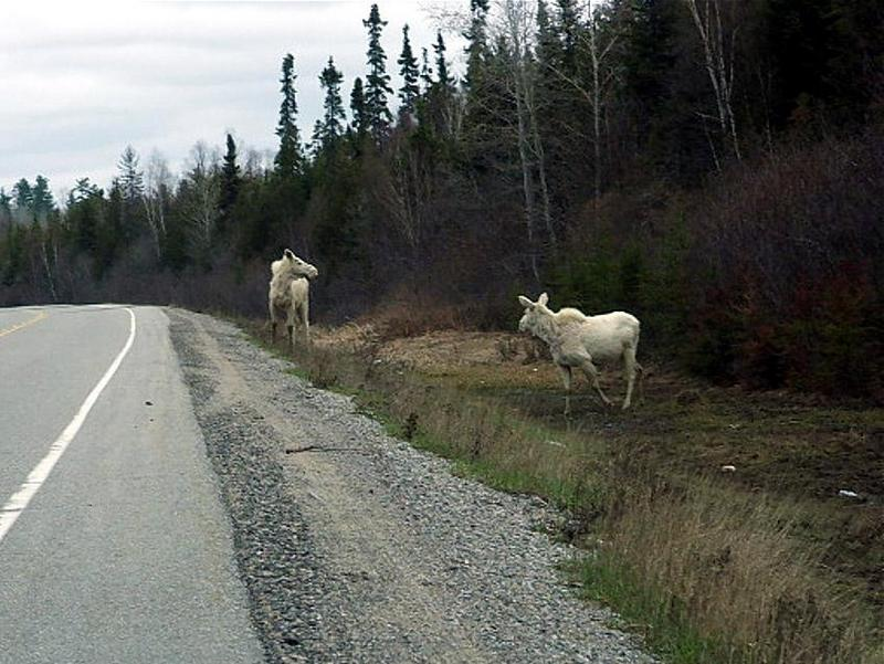 White Moose; DISPLAY FULL IMAGE.