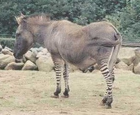 zebroid-colchester1-zonkey.jpg