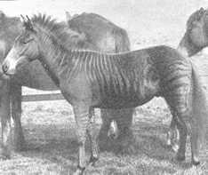 1899-zebrahorse-zorse.jpg